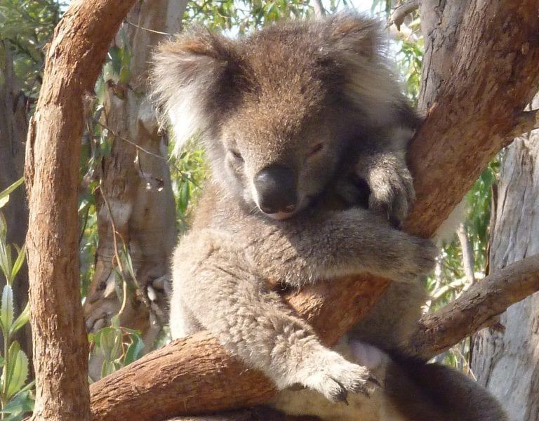 Melbourne-Moonlit-Sancturay-Victor-the-Koala-768x1024